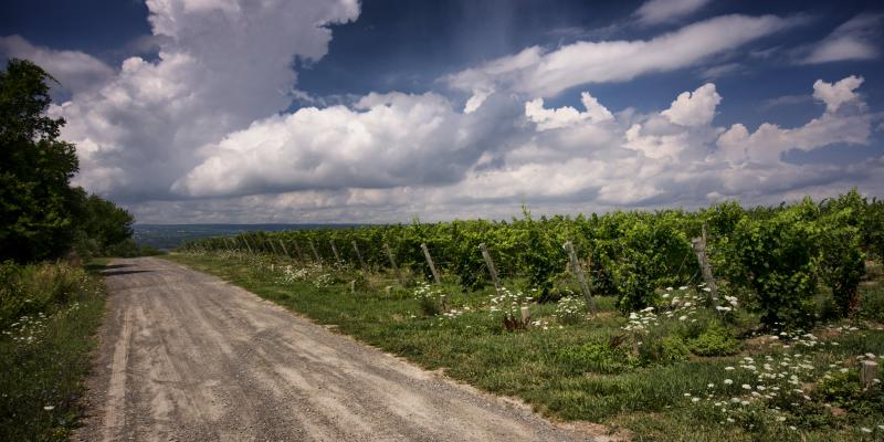 Beautiful vineyards surround Seneca Lake